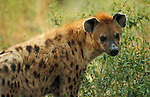 Hyena Crocuta crocuta, portrait, captive, West Africa.Gambia....