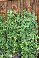 Sugar Pod Peas growing upright on wicker supports against woven fence in vegetable garden, sugar snap vine climbing food plants