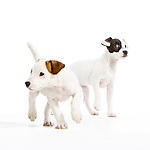 Judi -  Jack Russell Terrier Puppies