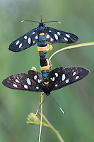 Nine-spotted Moth (Syntomis phegea), copulation, San Marino.