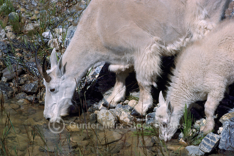 Mountain Goat Nanny and Kid (Oreamnos americanus), aka Rocky Mountain Goats, grazing at Mineral Lick, Yoho National Park, BC, British Columbia, Canada