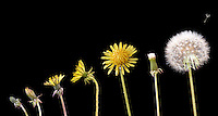FLOWERING PLANT PROGRESSION<br /> Variations Available<br /> Dandelion, Taraxacum officinale<br /> Composite photograph showing the progression of development, flowering and seed dispersal of the dandelion.