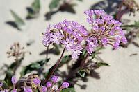 Nyctaginaceae (Sand-verbenas and Lantanas)