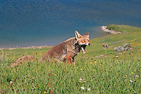 A red fox yawning. Taken in the high altitude prairies of the Gran Paradiso National Park, the largest and oldest wild protected area of Italy.