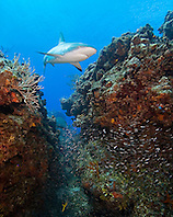 Caribbean Reef Sharks, Carcharhinus perezi, swimming over coral reef ledges with minnows, West End, Grand Bahama, Atlantic Ocean
