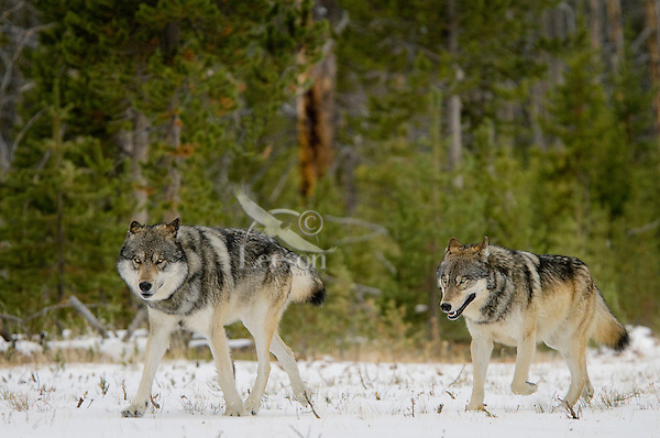Wild GRAY WOLVES (Canis lupus) walking trail they frequently use in their territory.  Greater Yellowstone Ecological Area.  Fall.