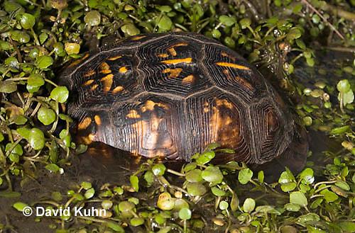 1003-0818  Male Eastern Box Turtle Partially Submerged in Water with Watercress - Terrapene carolina © David Kuhn/Dwight Kuhn Photography