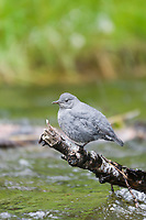 American dipper, Brooks river, Katmai National Park, southwest, Alaska.