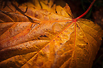 Autumn in Ireland, 2012: A close up macro shot of a fallen grown and orange leaf