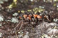 Kahlrückige Waldameise, Kleine Rote Waldameise, Arbeiterinnen bekämpfen sich, Formica polyctena, Waldameisen, Wood Ant, Wood Ants, Formica sensu stricto