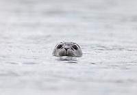 Harbor Seal Portrait   #W46