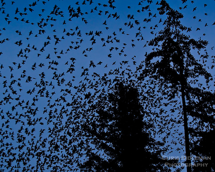 Starlings in mass for evening flight leaving trees at twilight.