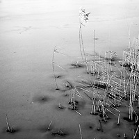 Water Reeds, Broome Lakes 2013