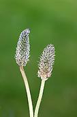 Ribwort Plantain - Plantago lanceolata (Plantaginaceae)