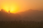 Sunrise in fog with tall grass and silhouetted trees