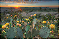 In the heart of the Texas HIll Country, Enchanted Rock State Park rises from the rolling hills of green. Late spring each year, the prickly pear cactus bloom, showing amazing shades of orange and yellow. This image from Texas captures their beauty at sunset looking across the rugged landscape.