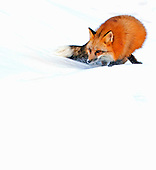 Female Red Fox (Vulpes vulpes) searching for prey in a field of snow.