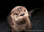 Juvenile North American river otter  ©
