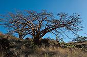 Wiliwili trees on Maui against a clear blue sky.