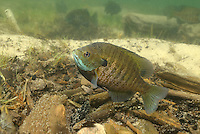 Bluegill (male guarding eggs)<br />