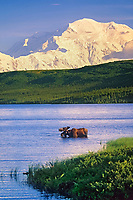 Bull moose feeds in Wonder lake, snow covered mount McKinley in the distance, Denali National Park, Alaska.