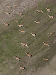 Aerial of Grant's gazelles, Tanzania