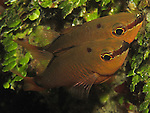 Kenting, Taiwan --  A spotnape cardinalfish couple.