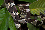 Blunt Headed Tree Snake, Imantodes cenchoa, curled on leaves of shrub, Iquitos, Peru, Amazon Jungle, nocturnal, most slender colubrid snakes in Peru, feeds on small reptiles and amphibians, egg laying. .South America....