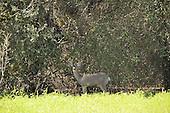 Mule deer looking at camera