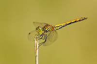 362700022 a wild juvenile  male band-winged meadowhawk sympetrum semicintum perches on a stick near bishop inyo county california