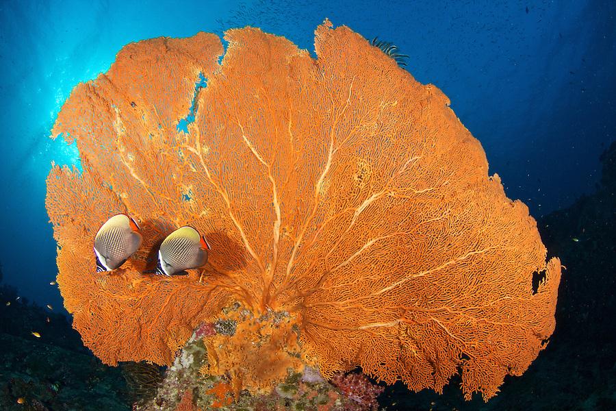 Sea Fan Sea fan with butterflyfish