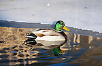Mallard Drake at sunrise on the edge of an icy shore line in a Montana creek