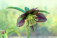 Helleborus torquatus hybrid hellebore