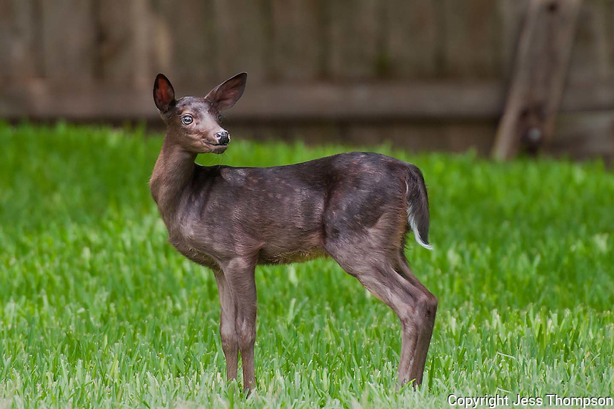 Melanistic Whitetail Deer Rare Melanistic Whitetail Fawn