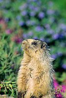 Hoary Marmot in wildflowers, Denali National Park, Alaska.