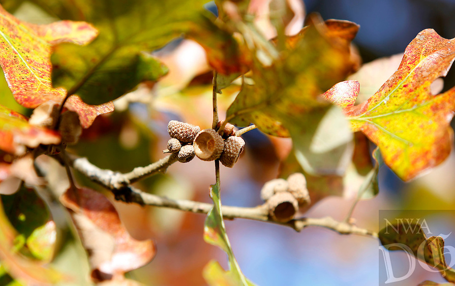 NWA Democrat-Gazette/DAVID GOTTSCHALK  Acorns produced from a more than 150 year old White Oak Tree Monday, October 26, 2015, on South Armstrong Avenue in Fayetteville. Kathryn Scherer, of Fayetteville, is seeking donations towards watering and caring for the tree.
