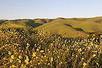 Mustard at Garin Regional Park