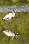 Ding Darling National Wildlife Refuge, Sanibel Island, Florida; a wood stork standing in shallow water, foraging for food, is perfectly reflected in the calm surface