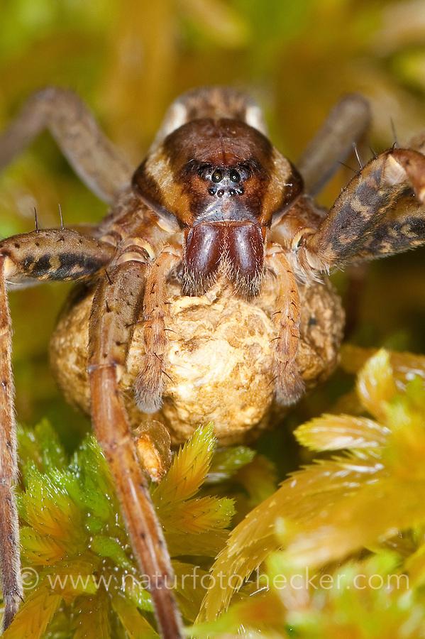 Gerandete Jagdspinne, Listspinne, Weibchen mit Eikokon, Eiern auf Torfmoos in einem Hochmoor, Dolomedes fimbriatus, raft spider, raft-spider, Raubspinnen, Pisauridae