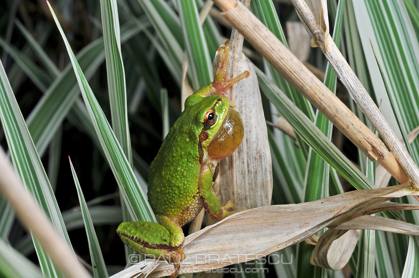 Pacific Northwest Tree Frog (Hyla regilla)