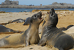 elephant seal juveniles play at Ano Nuevo State Park