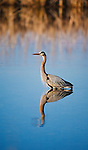 Great Blue Heron in a marsh in Montana