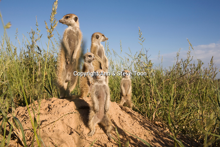 Meerkat group, Suricatta suricata, Kalahari Meerkat Project, Van Zylsrus, Northern Cape, South Africa