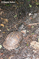 0115-0901  Three-toed Box Turtle on Forest Floor, Terrapene carolina triunguis  © David Kuhn/Dwight Kuhn Photography.