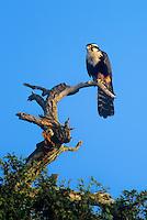 527550004 a wild federally endangered female aplomado falcom falco femoralis perches on a dead tree snag at los ebanos ranch in tamaulipas state mexico