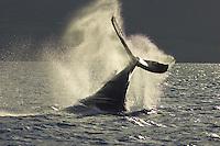 A humpback whale slaps its tail near Lahaina.