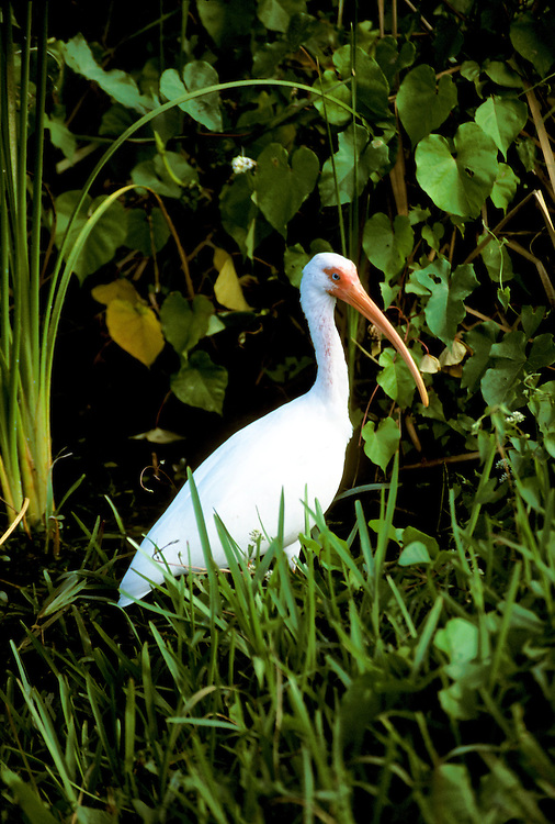 FL: Florida Everglades National Park,.ibis, bird.Photo Copyright: Lee Foster, lee@fostertravel.com, www.fostertravel.com, (510) 549-2202.Image: flever250