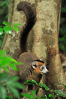 Male Crowned Lemur (Eulemur coronatus), Ankarana National Park, Northern Madagascar