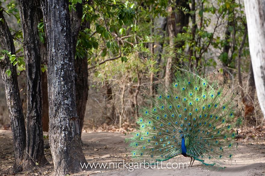 Male Indian Peafowl (Peacock) (Pavo cristatus) displaying. Bandhavgarh NP, India.