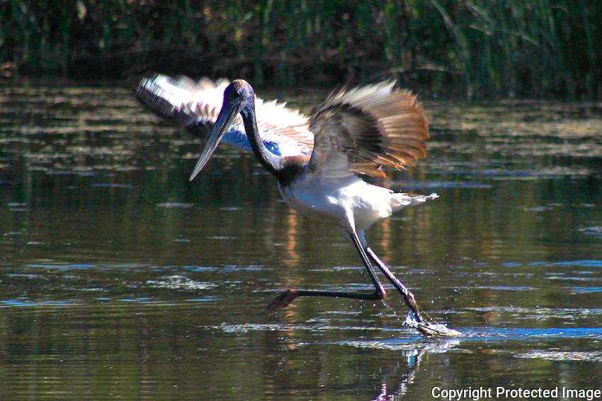 Black-necked Stork (Jabiru), Oakover River, Pilbara, Western Australia